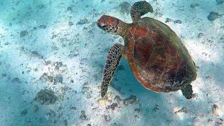 Schildkröte, Turquoise Bay